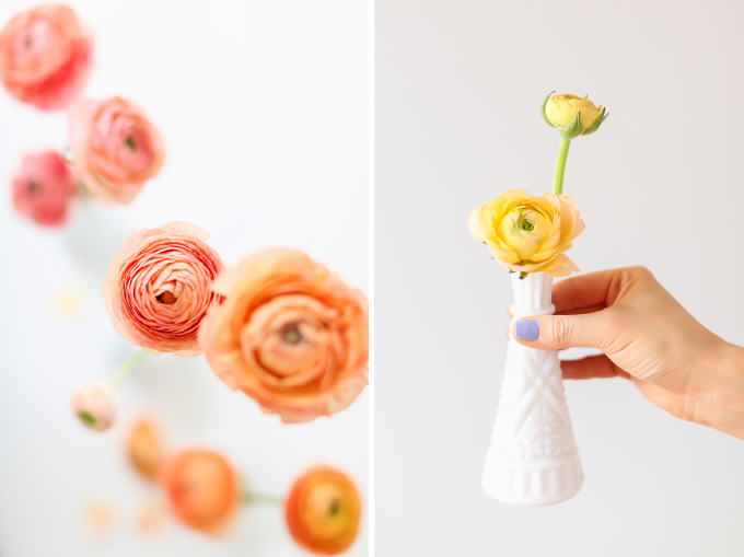 All About Ranunculus | Care & Conditioning Tips | Ombre Yellow to Pink Ranunculus on a White Background | JustineCelina.com