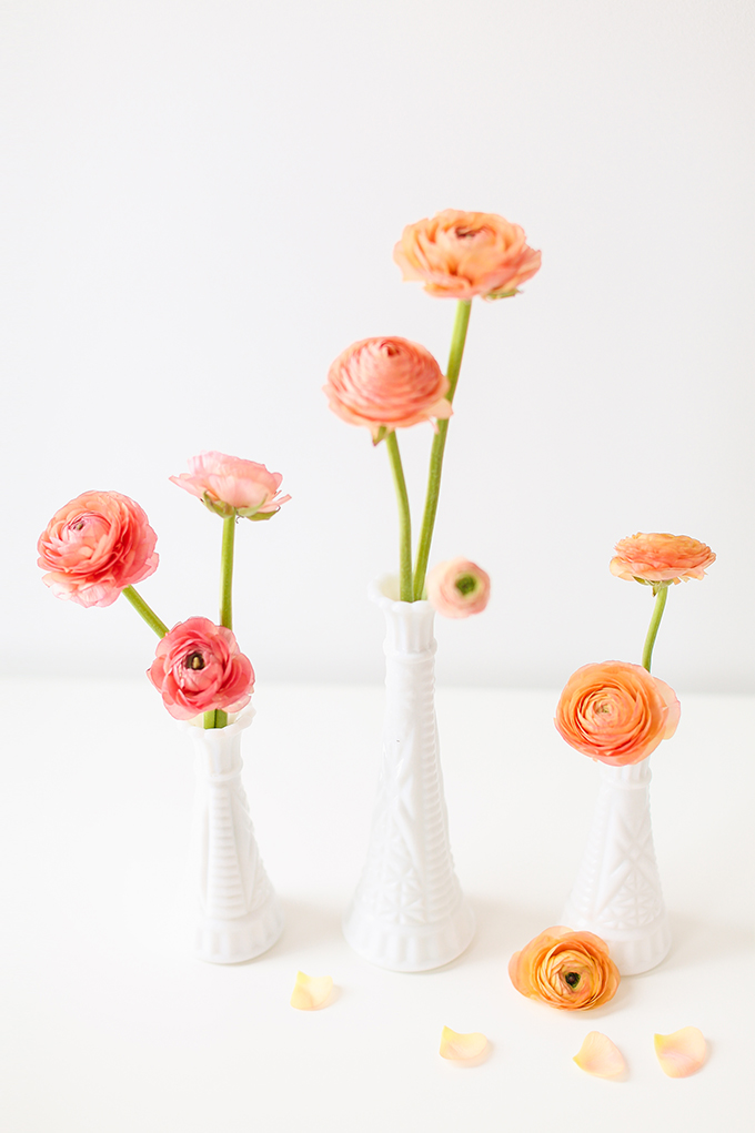 All About Ranunculus | Care & Conditioning Tips | Ombre Ranunculus in Vintage Milk Glass Vases on a White Background | JustineCelina.com