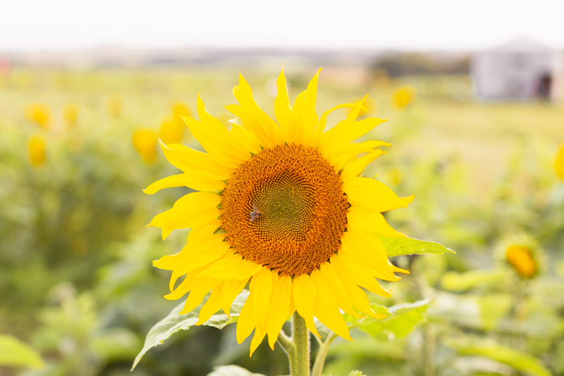 A Guide to Bowden SunMaze & Eagle Creek Farms | Bowden SunMaze September 2020 | Sunflower Field Near Me | The Best Alberta Sunflower Field | Alberta Sunflower U-Pick | Bowden SunMaze Sunflower Field Best Time To Go | Bowden SunMaze Cost | Eagle Creek Farms Review | Sunflower Field Instagram Tips | A large sunflower at sunset with a sleeping bee | Calgary Lifestyle Blogger // JustineCelina.com