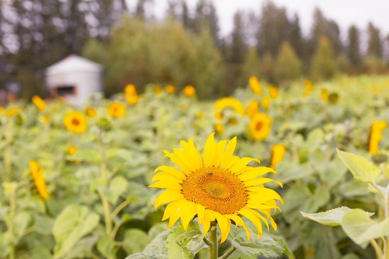 A Guide to Bowden SunMaze & Eagle Creek Farms | Bowden SunMaze September 2020 | Sunflower Field Near Me | The Best Alberta Sunflower Field | Alberta Sunflower U-Pick | Bowden SunMaze Sunflower Field Best Time To Go | Bowden SunMaze Cost | Eagle Creek Farms Review | Sunflower Field Photography Tips | How to Photograph Sunflowers | A field of sunflowers during Blue Hour with a Grain Silo in the Background | When are Sunflowers In Bloom | Calgary Lifestyle Blogger // JustineCelina.com