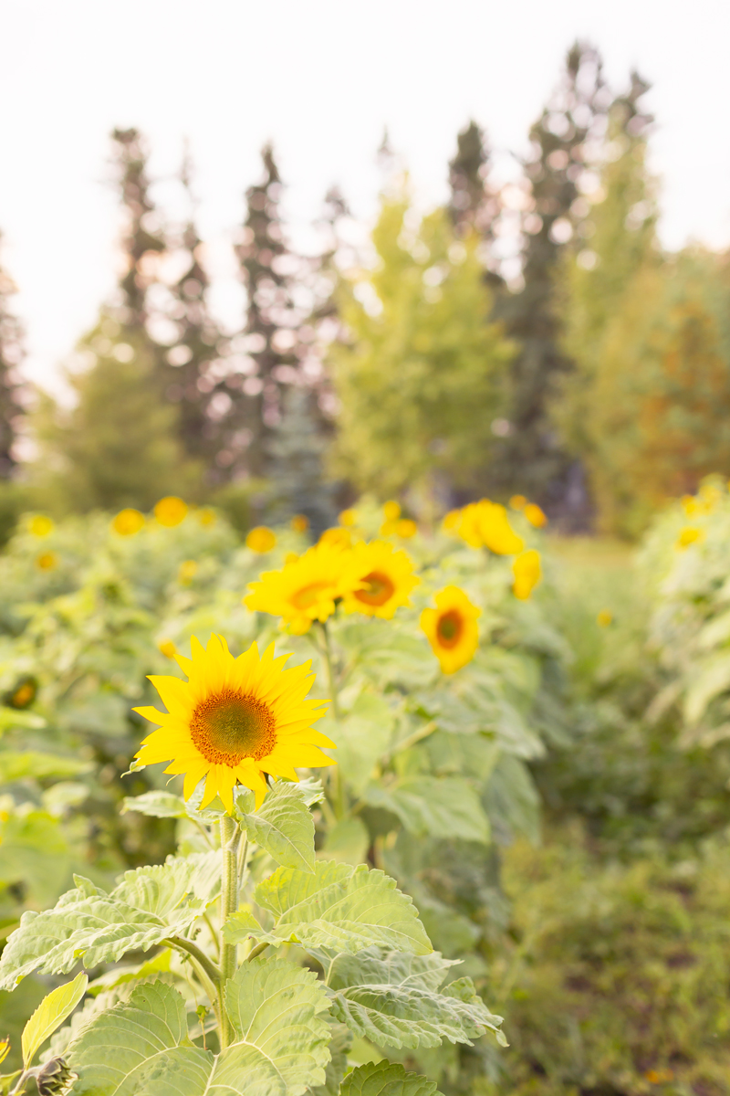 A Guide to Bowden SunMaze & Eagle Creek Farms | Bowden SunMaze September 2020 | Sunflower Field Near Me | The Best Alberta Sunflower Field | Alberta Sunflower U-Pick | Bowden SunMaze Sunflower Field Best Time To Go | Bowden SunMaze Cost | Eagle Creek Farms Review | Sunflower Field Photography Tips | How to Photograph Sunflowers | A field of sunflowers at sunset | 100,000 Smiling Sunflowers | When are Sunflowers In Bloom | When is Sunflower Season | Calgary Lifestyle Blogger // JustineCelina.com